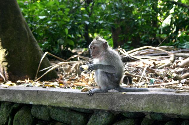Macaco comiendo