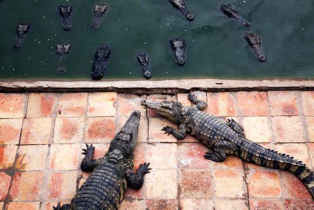 Granja de cocodrilos