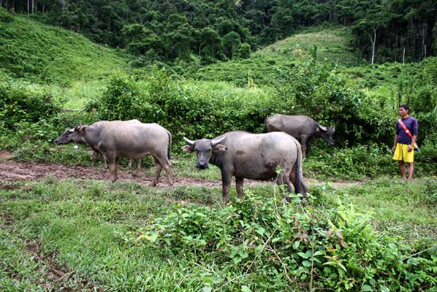 Bufalos de agua al despertar