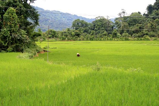Plantaciones de arroz , que ver en Vang Vieng