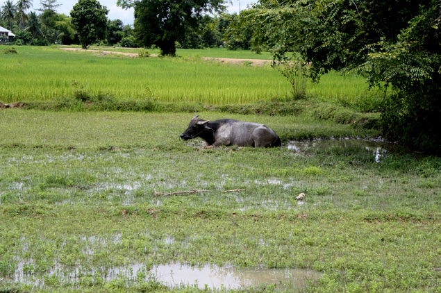 Campos de arroz y animales locales