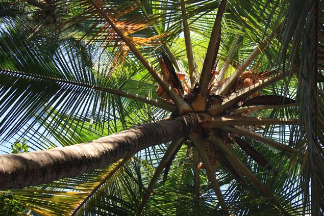 enorme palmera