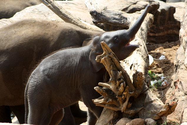 Orfanato de elefantes de Pinnawella
