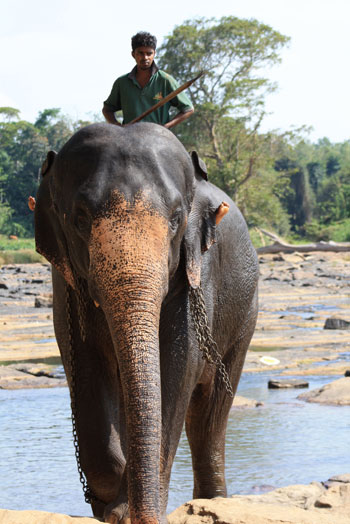 Mahout a lomos de un elefante