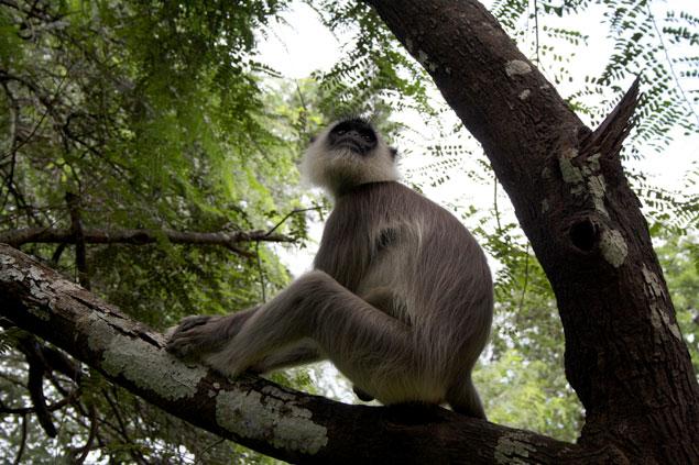 Macaco de cara negra