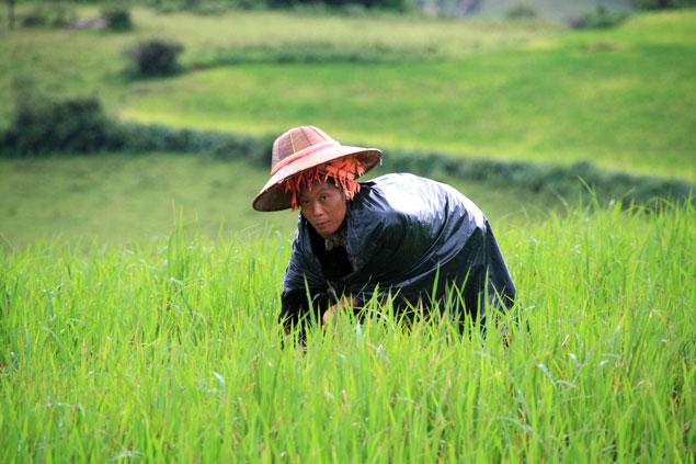 Mujer birmana recogiendo arroz