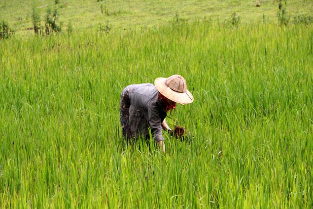 Recogiendo arroz
