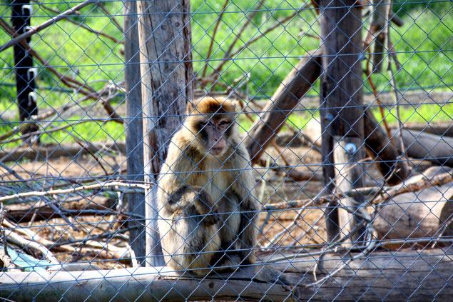 Macaco rescatado