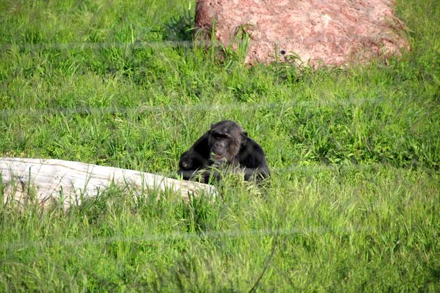 Chimpancé en su nuevo hábitat