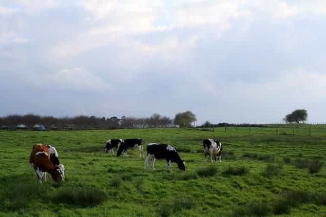 Vacas pastando al lado del Faro