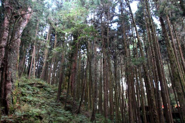 Bosque de Alishan
