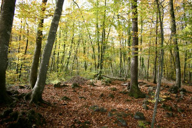 Hojas caidas en el bosque de hayas