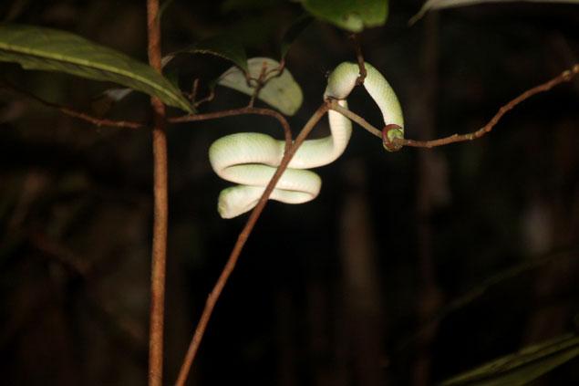 Serpiente en Borneo