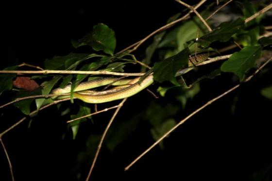 Serpiente camuflada enel taman Negara .. Ruta por Malasia