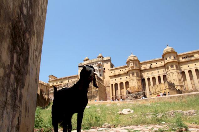 Cabra en Jaipur