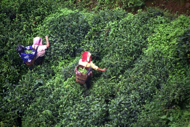 Mujeres del te de Daerjeeling