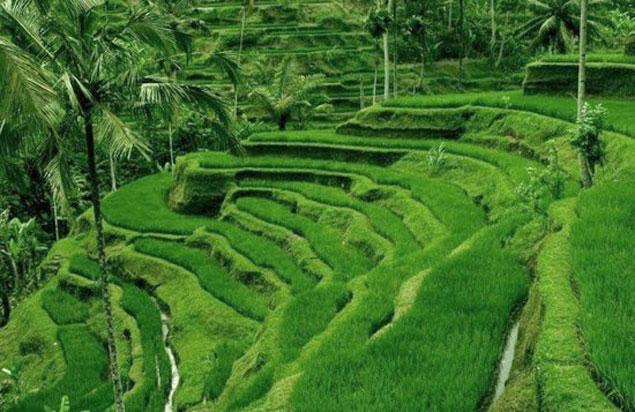 Que ver en Ubud (Campos y terrazas de arroz)