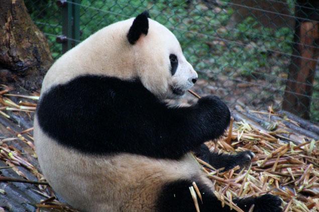 Osos Panda , que ver en Chengdu