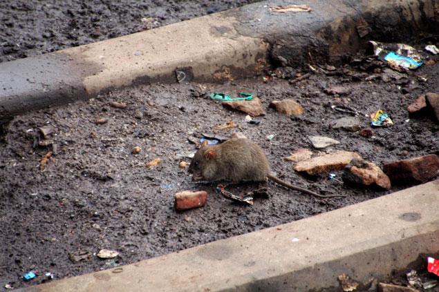 10 cosas que no me gustaron de la India (Ratas comiendo basura)