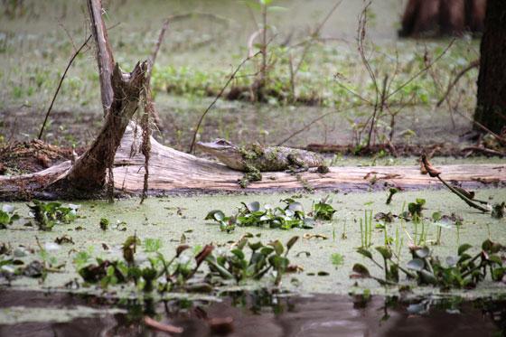 Cría de aligator , en liberad en mitad del pantano