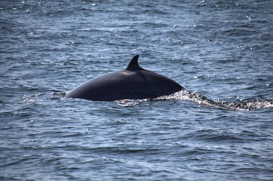 Ballenas en Tadoussac
