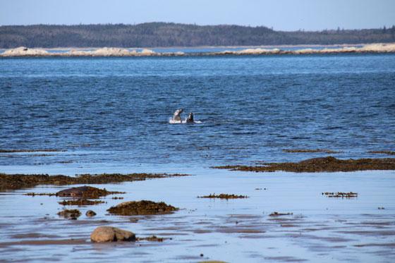 Pelea entre focas en el Parc National du Bic (Ruta por Canadá)