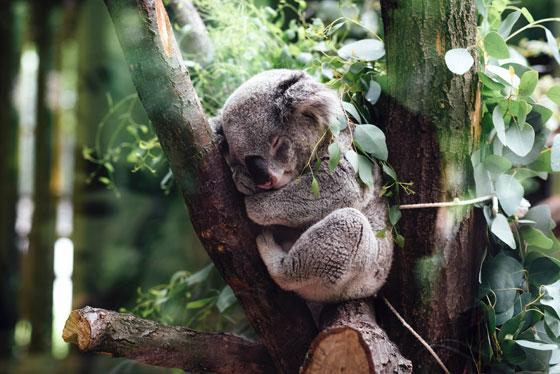 Koala , Australia