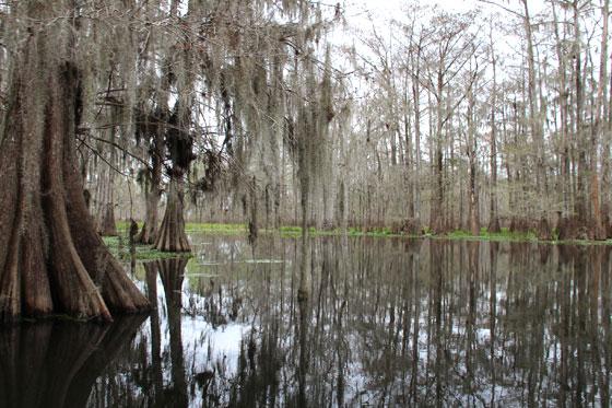 Cipreses calvos en el Lake Martin (Pantanos de Nueva Orleans)