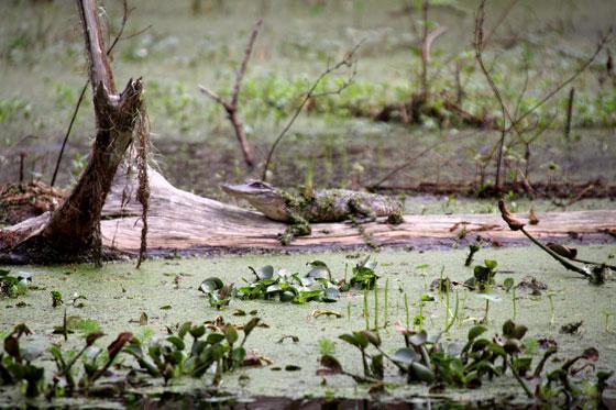Caimán pequeño (pantanos de Nueva Orleans)