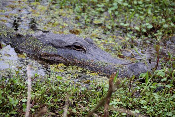Pantanos de Nueva Orleans ...Un enorme caimán a pocos metros