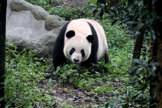 ruta por China , Osos Panda