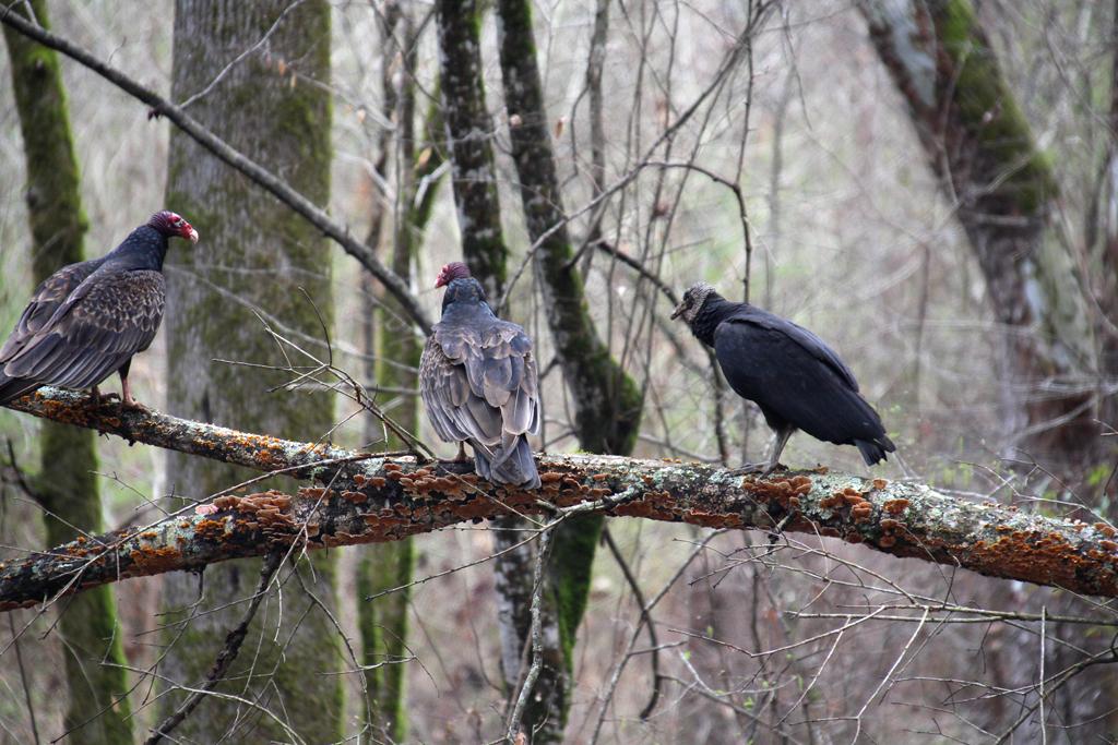 Buitres en los árboles Natchez Trace Parkway