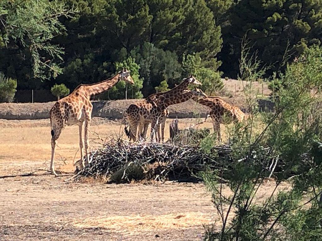 jirafas en Sigean , reserva africana de Sigean