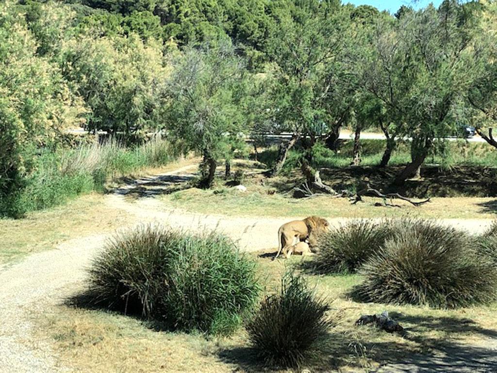 leones reserva africana sigean